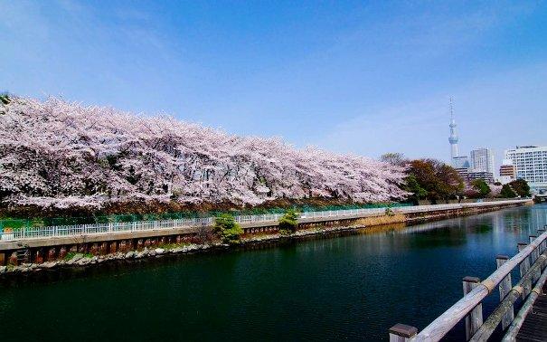 Hoa anh đào ở Công viên Sumida ở Tokyo