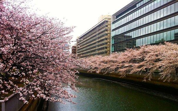 Ngắm hoa anh đào ở Kênh đào Monzen-Nakacho ở Tokyo