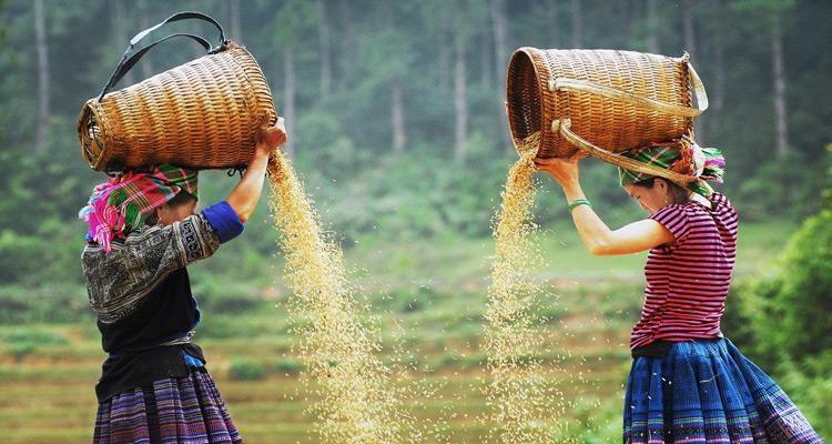 Hình ảnh lao động đẹp đẽ của con người vùng cao  mùa lúa chín