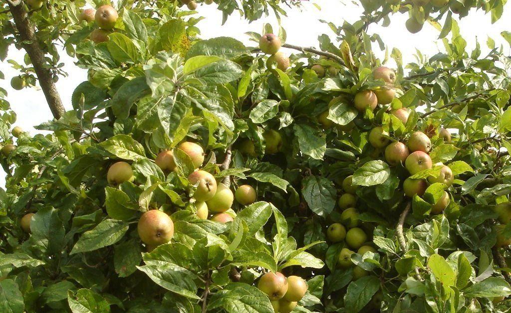 Cây táo mèo thường mọc nhiều trên các vùng núi phía Bắc ở nước ta, loại quả này có tác dụng hỗ trợ tiêu hóa, tăng cường hệ miễn dịch, chống ung thư,...