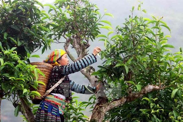 Chè Tà Xùa là loại chè sạch, được, trồng, hái và chế biến hoàn toàn thủ công với số lượng ít ở xã Tà Xùa, huyện Bắc Yên, tỉnh Sơn La.