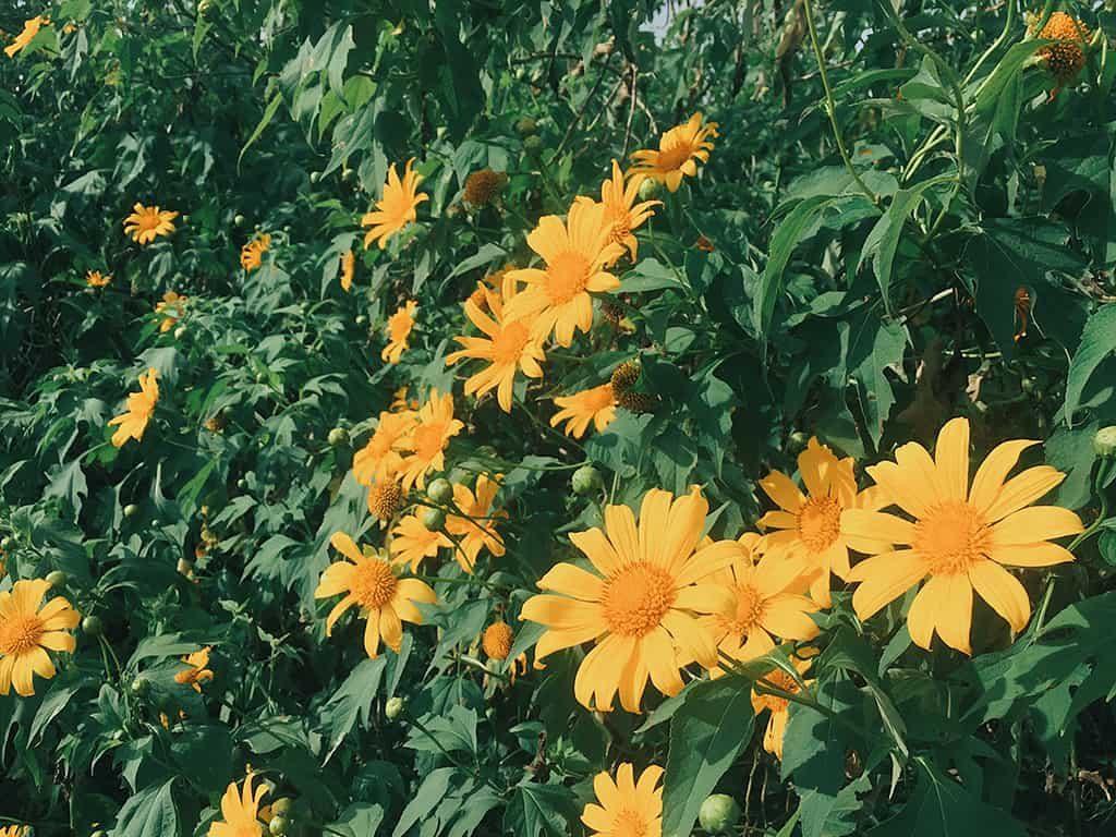Tháng 10, hoa dã quỳ Đà Lạt nở đẹp nhất trên những cung đường