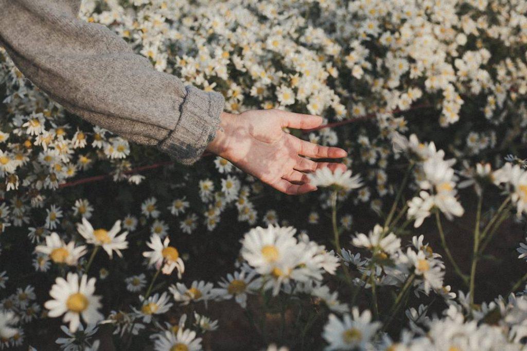 Bạn sẽ được chiêm ngưỡng những vườn cúc họa mi Đà Lạt nhuộm trắng cả một khu vườn làm bất cứ ai đến đây cũng đều say đắm.