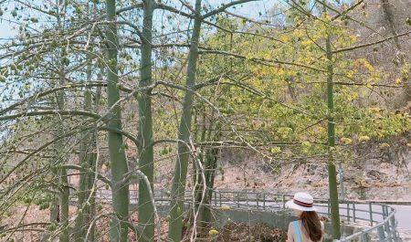 Con đường cây bông gòn