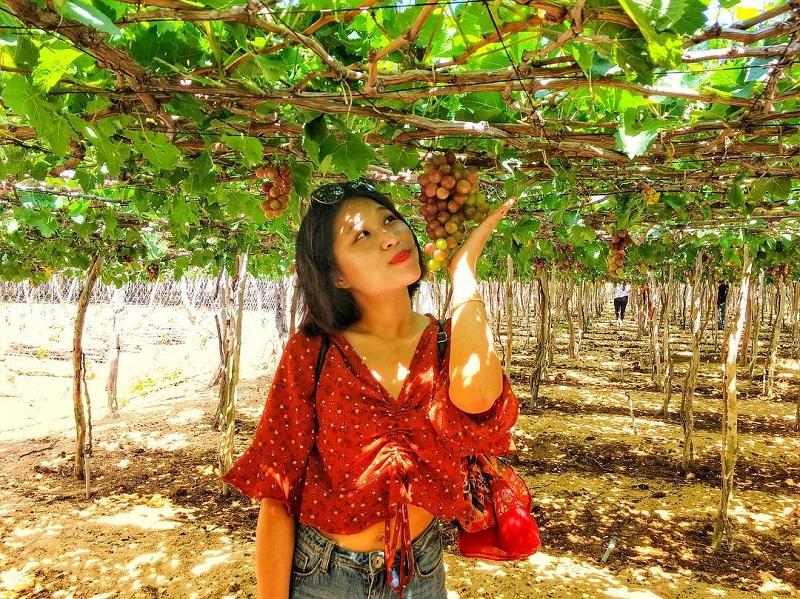 Nằm tại địa chỉ 622 ấp Phước Tân, xã Phan, huyện Dương Minh Châu, tỉnh Tây Ninh, vườn nho thuộc công ty sản xuất rượu Vang Cy là một trong những điểm được giới trẻ check-in nhiều ở Tây Ninh.