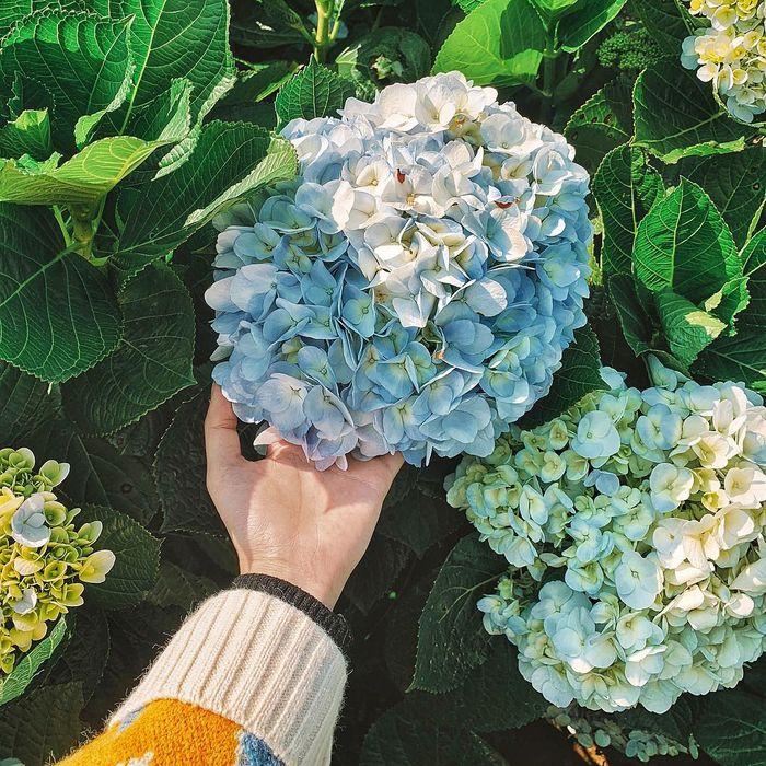 Yêu lắm loài hoa cẩm tú- loài hoa được sử dụng cho đám cưới