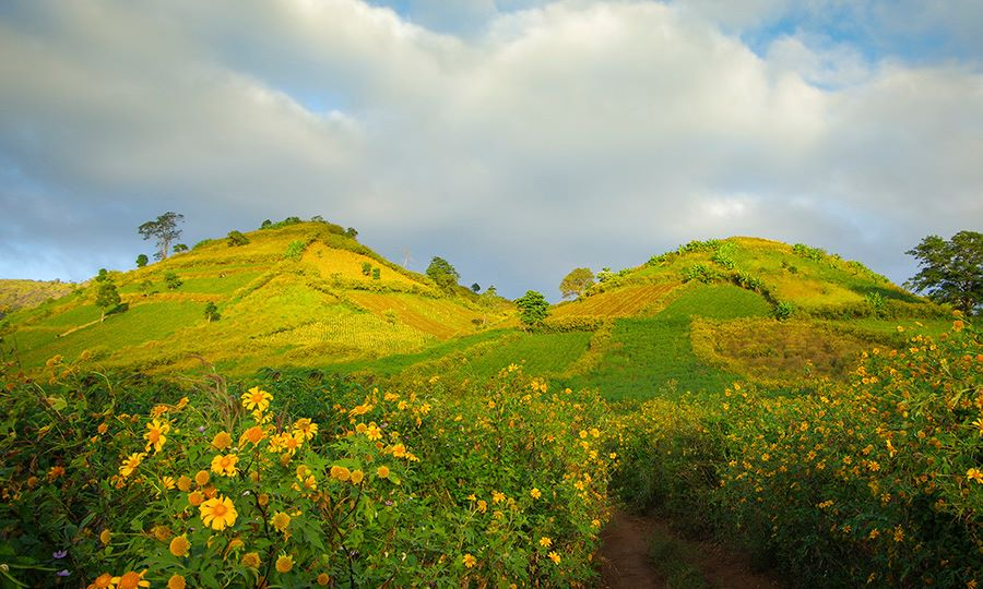 Thảm hoa dã quỳ nhuộm đầy núi lửa