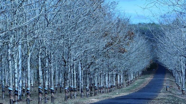 Rừng cao su khi thời tiết vào đông