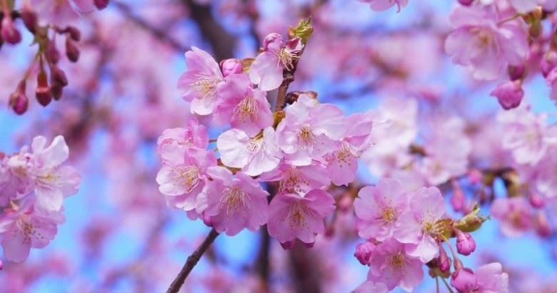 Từng đóa hoa anh đào nhuộm hồng khoe sắc