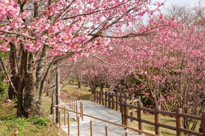 Sakura nhuộm hồng thành Nago