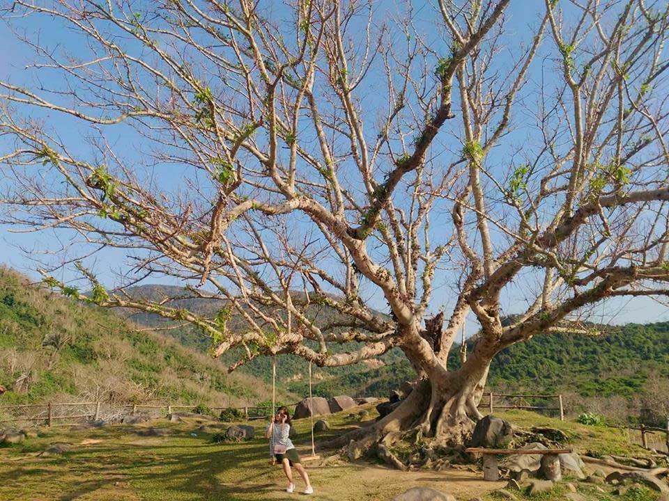 Hình ảnh cây sung cô đơn Phú Yên