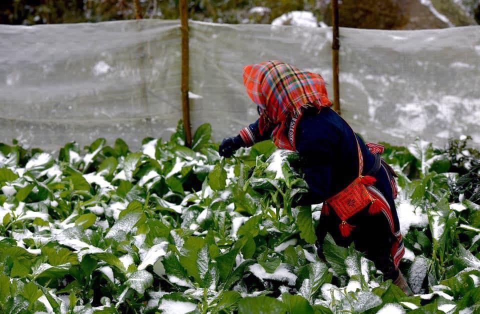 Rau cỏ có thể bị chết bì băng tuyết