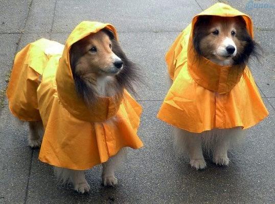Dẫn mấy cưng đi chơi trời mưa ngay và luôn với bộ áo mưa vàng cực chất