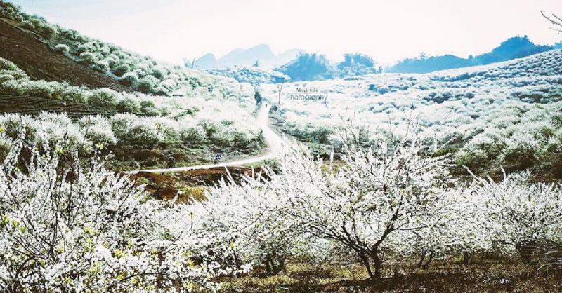 Cả một rừng mận nở trắng xóa đồi