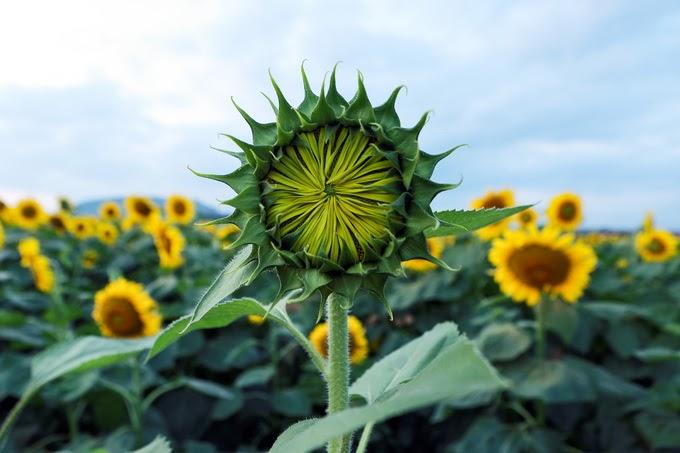 Thấy búp hoa mặt trời là muốn bẻ về làm của riêng luôn ấy chứ