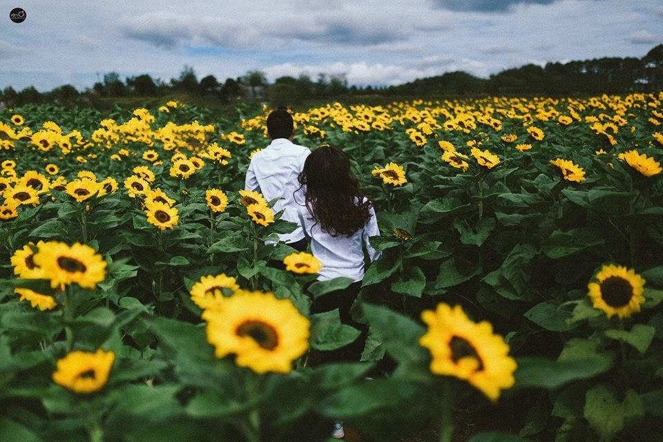 Cậu có nhớ hẹn ước ngày xưa của chúng ta trên đồng hoa mặt trời này không ?