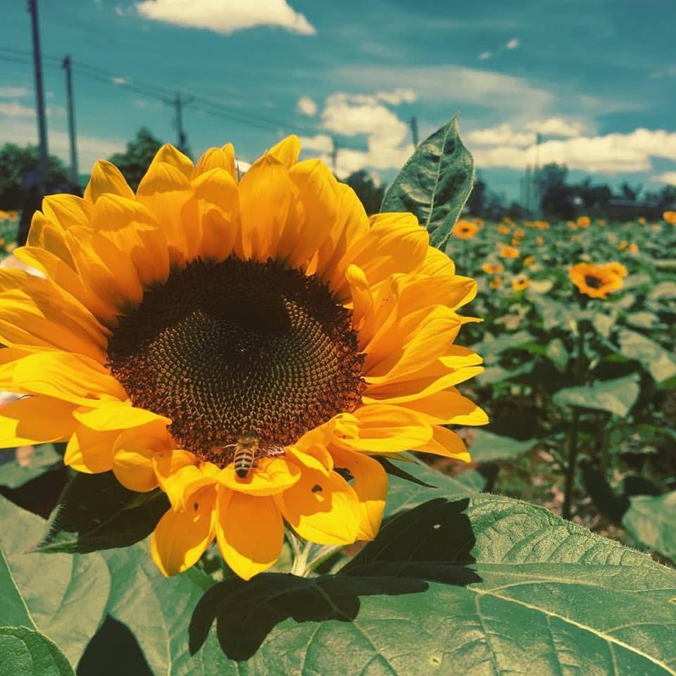 Hãy để những hồi ức thanh xuân của bạn rực rỡ nhất như bông hoa hướng dương này