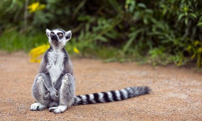 Vượn cáo đuôi vòng - sinh vật với chiếc đuôi dài có nhiều vòng đen trắng là một loài nổi tiếng trên quốc đảo xinh đẹp này!