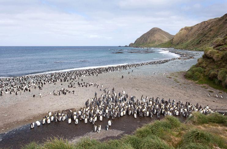 Cánh cụt Hoàng gia là giống chim ồn ào, chúng thường hay gây rối, kêu to khiến du khách hoảng sợ.