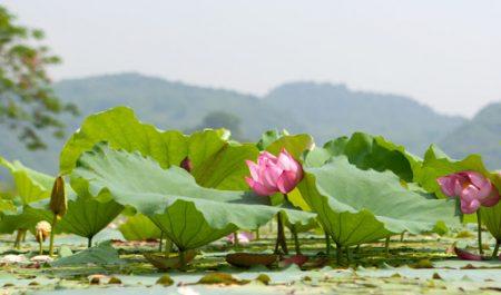 Đầm sen ở Hồ Quan Sơn