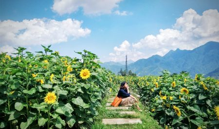 Đồi hoa hương dương ở Sapa