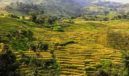 Lúa đã vàng trên đường đi đến bản Phùng