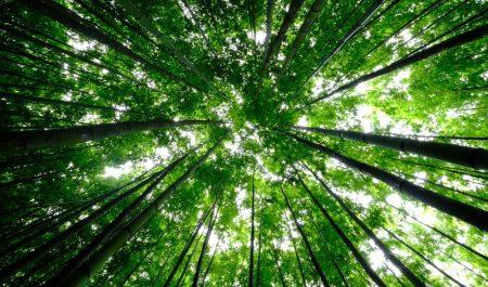 Rừng trúc ở đây xanh tươi, cao vút lên trên cao, nhìn rất sạch sẽ và yên bình.