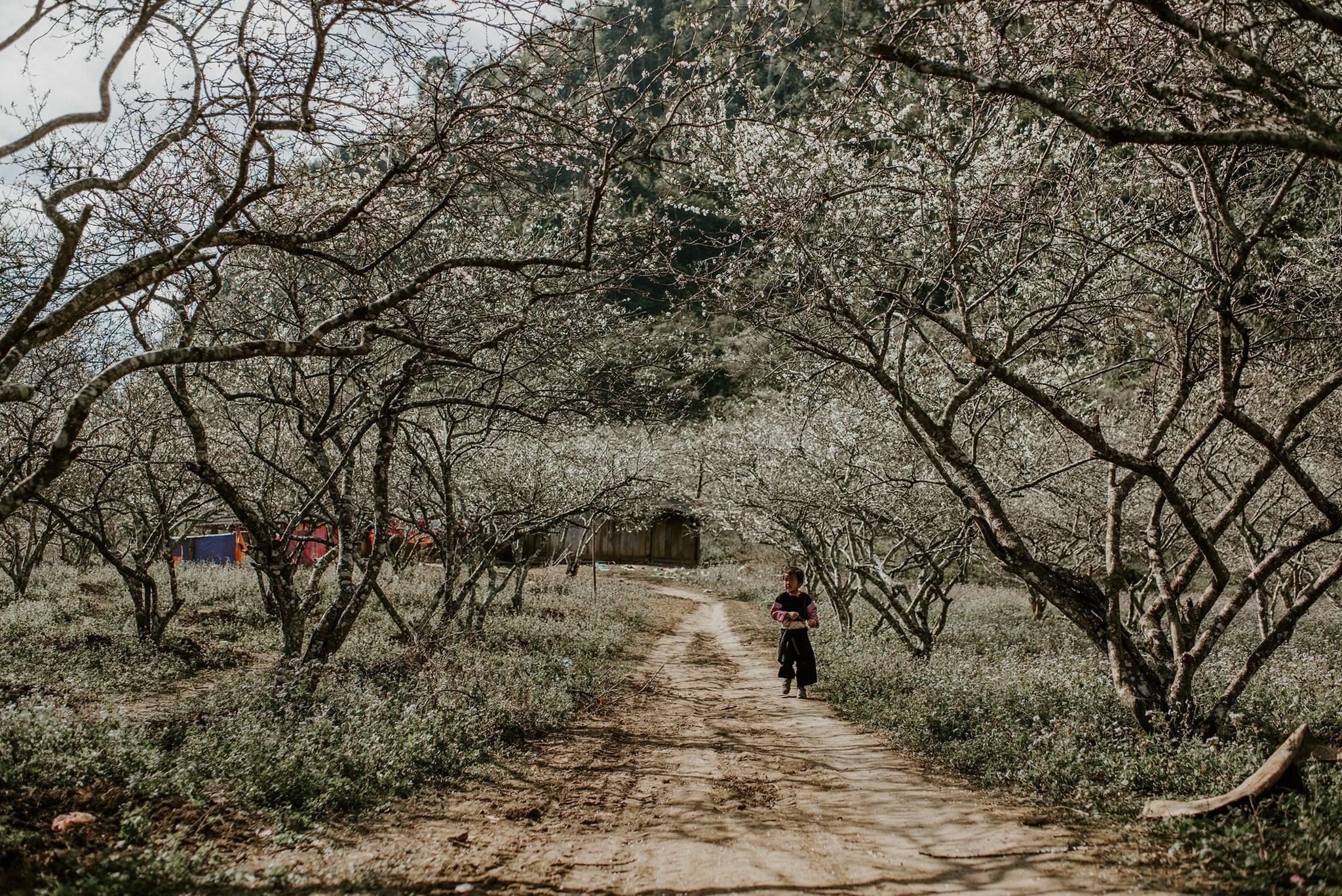 Mùa hoa mận Mộc Châu