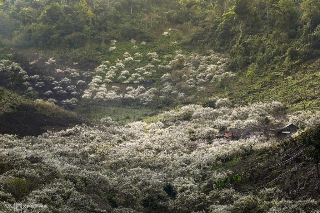 Thung lũng mận Thung Cuông