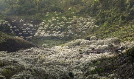 Vườn mận ở Thung Cuông