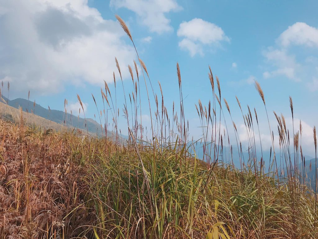 Pusilung bạt ngàn cỏ lau